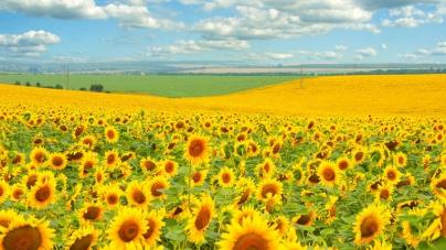 УкрАгроКонсалт: Отмена экспортной пошлины на подсолнечник все за и против