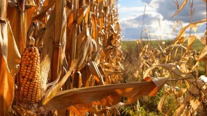 Засуха уничтожила 30% ожидаемого урожая кукурузы – аграрии