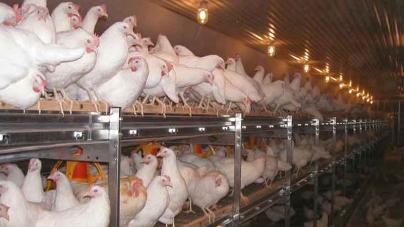 Рейтинг самых доходных и прибыльных птицефабрик в Украине