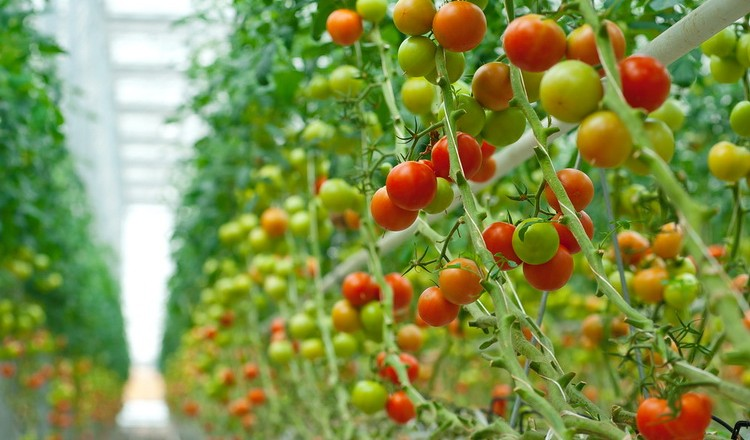 Снижение цены на тепличные овощи в Польше – плохая новость для украинских производителей