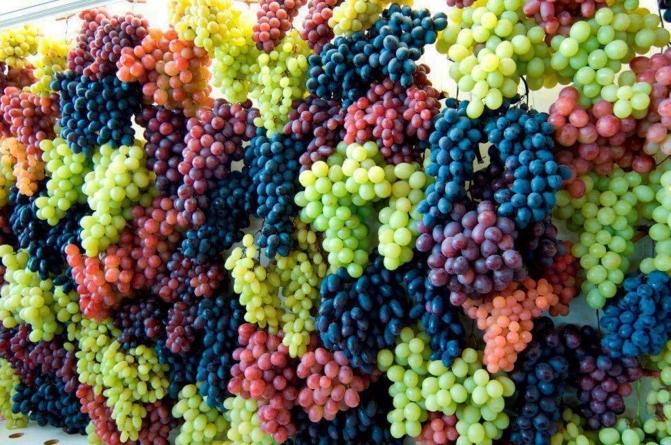 В Коблево собрали рекордный урожай 12,7 тысяч тонн винограда