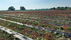 Ягодное хозяйство в Киевской области (голубика, облепиха, клубника, лимонник)